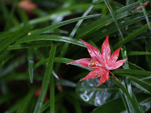 A wet maple